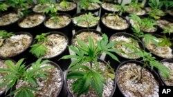 L'Arizona, la Californie, le Maine, le Massachusetts et le Nevada organisent le 8 novembre des référendums sur la légalisation de la marijuana pour un usage récréatif.