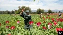 Polisi Afghanistan melakukan pemberantasan tanaman ganja di provinsi Nangarhar (foto: ilustrasi).