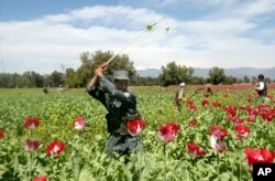 FILE - An Afghan police officer is seen destroying opium poppies on the field during a poppy eradication campaign in Nangarhar province, east of Kabul, Afghanistan, April 2, 2007.