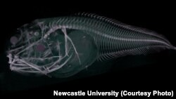 Scan of one of the Atacama snailfish.