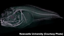 This image shows a CT scan of the Atacama snailfish, a new species of fish found in the Atacama Trench off the west coast of Chile and Peru at a depth of nearly 8,000 meters.