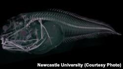 Gambar ini menunjukkan hasil CT Scan ikan siput Atacama, spesies ikan baru yang ditemukan di Palung Atacama, sebelah barat pantai Chili dan Peru, pada kedalaman hampir 8.000 meter.