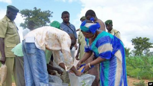 People sharing and distributing aflasafe on a farm in Nigeria.