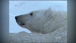 Changing Arctic Conditions Threaten Polar Bears