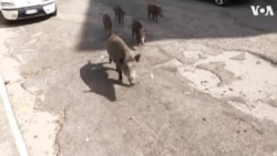 Wild Boars Now Common Sight in Rome Suburb