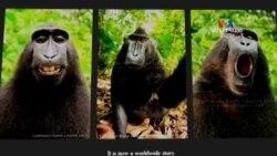 SHORT VIDEO: Ինդոնեզական կապիկի արած Սելֆիները քննարկվում են դատարանում