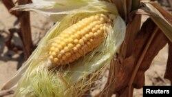 美國玉米近年受乾旱影響發生產量危機(2012年資料照片)