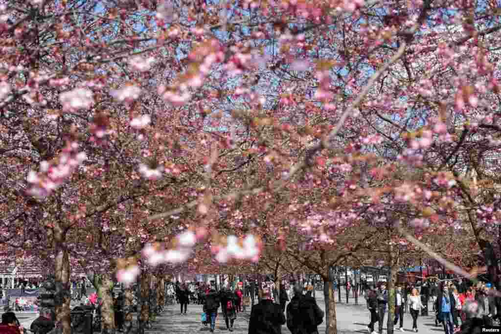 Warga menikmati bunga sakura yang mekar di taman Kungstradgarden, Stockholm, Swedia.