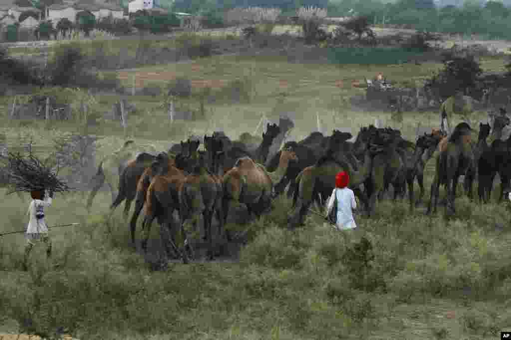 Lạc đà được lùa tới hội chợ gia súc hàng năm ở Pushkar, bang Rajasthan, Ấn Độ.