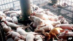 A new study found increases in about 20 different antibiotic-resistance genes in pigs that were fed low doses of antibiotics.
