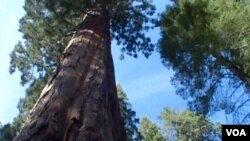 仰视全球最大树木-谢尔曼将军水杉(美国之音国符拍摄)