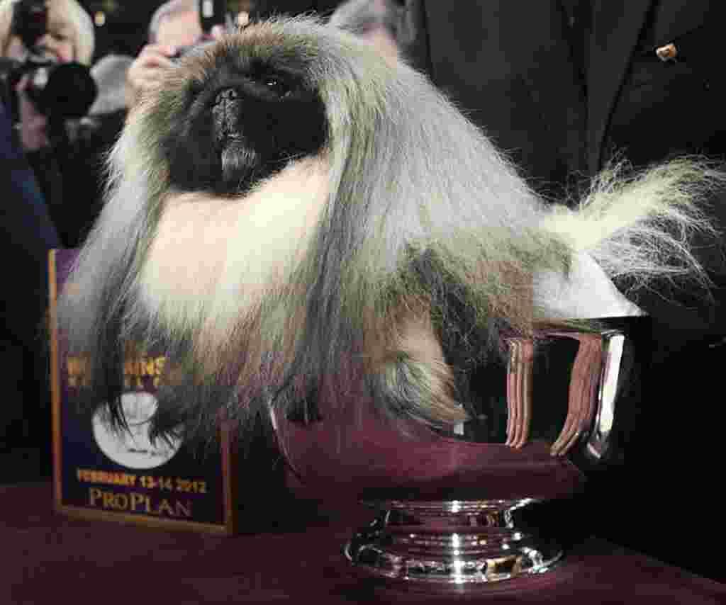 El pequinés Malachy sentado frente a su trofeo, después de ser nombrado el mejor perro de la versión 136 del concurso de Westminster Kennel Club.
