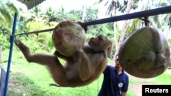 Nirun Wongwanich, 52, a monkey trainer, trains a monkey during a training session at a monkey school for coconut harvest in Surat Thani province, Thailand July 10, 2020. (REUTERS/Athit Perawongmetha)