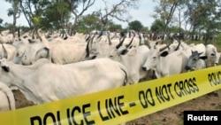 Des bestiaux dans le village de Dajin Gomo, Kano, Nigeria, le 2 novembre, 2015.