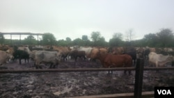 Head of cattle in flooded areas are at risk of suffering from flood related dieases due to wet conditions they have been subjected to in their kraals. (Abida Sidick Mia for VOA News)