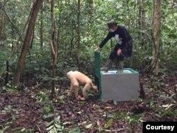 Pelepasliaran Orangutan sebelum masa pandemi Covid-19. Foto: BOS (Borneo Orang Utan Survival)