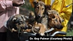 Des chiens sur le point d'être vaccinés contre la rage