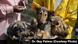 Un grupo de perros a punto de ser vacunados contra la rabia en Tanzania.
