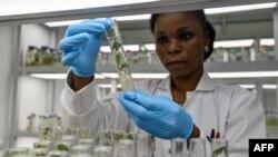 Un technicien de laboratoire examine des cultures in vitro de manioc dans un centre de recherche sur le manioc, dans le cadre du projet WAVE (West African Virus Epidemiology), à Bingerville, Côte d'Ivoire, 27 juin 2018.
