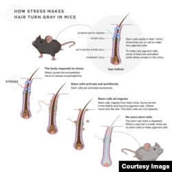 This infographic depicts how stem cells are depleted in response to stress, causing hair to turn gray in mice. (Judy Blomquist/Harvard University)