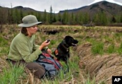 Trained dogs find moose droppings, which will help experts determine just how large the moose population has gotten in the Adirondacks.