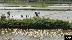 Nông dân trồng lúa trên một cánh đồng ở làng Xuy Xá, Hà Nội