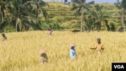 Para petani di Jatiluwih, Bali, sedang memanen padi (Muliarta/VOA Indonesia)