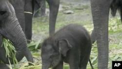 东爪哇的一头3个月大的苏门达腊象走在象群中间
