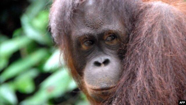 Simpanse dan orangutan mengalami krisis paruh baya seperti manusia, ditandai dengan emosi yang labil. (Foto: Dok)