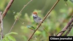 "Cambodian Tailorbird (Orthotomus chaktomuk), a small, light and dark grey bird with an orange-red tuft, was described by scientists as ""hiding in plain sight"" in Cambodia's capital Phnom Penh when first spotted in 2009. (James Eaton/Birdtour Asia)"