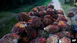 Buah kelapa sawit diangkut ke dalam truk di sebuah perkebunan kelapa sawit di Sumatera, 13 November 2017. (AP Photo/Binsar Bakkara)