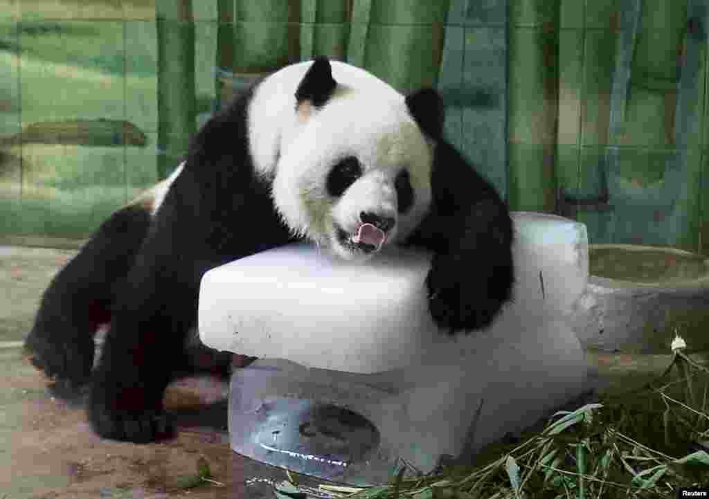 Giant panda Weiwei leans on ice blocks to cool off inside its enclosure at a zoo in Wuhan, Hubei province, China. Local temperatures hit 36 degrees Celsius (96.8 degrees Fahrenheit).