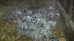 Білі тигренята у австрійському зоопарку