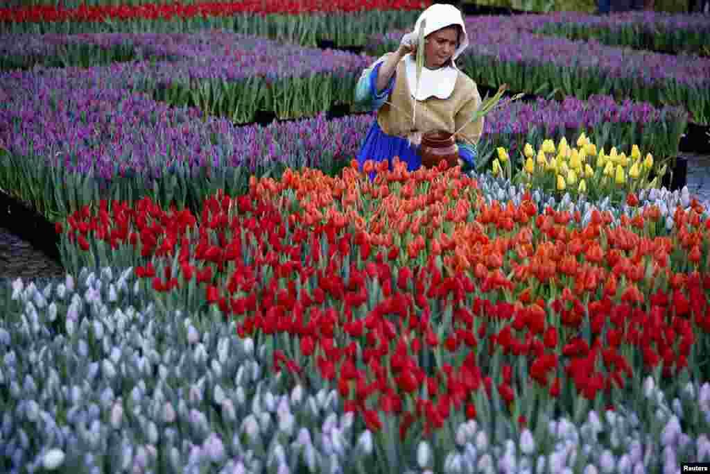 ស្រ្តីម្នាក់តុបតែងជា The Milkmaid បេះផ្កាដែលគេដាក់នៅពីមុខព្រះរាជវាំងនៅទីលាន Dam ដើម្បីសាទរការផ្តើមនៃរដូវផ្កា Tulip នៅក្នុងក្រុងអាំស្ទែដាំ (Amsterdam) ប្រទេសហូឡង់ កាលពីថ្ងៃទី១៦ ខែមករា ឆ្នាំ២០១៦។