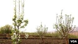 باغداران شیخعلی سال گذشته از بابت فروش حاصلات سیب یک و نیم میلون دالر عاید کردند.