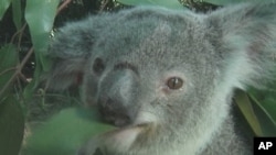 Australia's koala face extinction from an AIDS-like virus