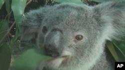 Australia's koala face extinction from an AIDS-like virus