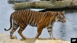 Inilah Melati (10 tahun), harimau betina di kebun binatang London yang bernasib nahas, tewas diserang oleh Asim, harimau jantan yang baru saja dipindahkan dari Denmark (foto: AP).