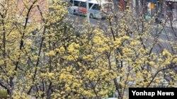 14일 부산 부산진구 국립부산국악원에 노란 산수유 꽃이 만개했다.