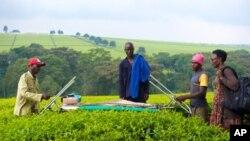 La cueillette du thé en Afrique de l'Est