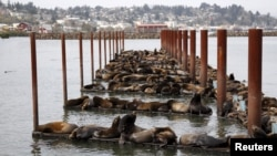 Ratusan singa laut di dermaga marina di Astoria, Oregon, 29 Maret 2015 (Foto: dok).