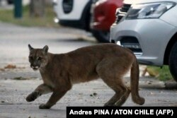 Puma berusia sekitar 1 tahun terlihat di jalanan kota Santiago, Chili.