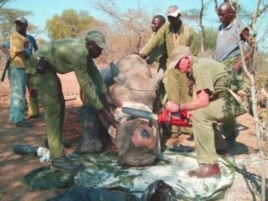 Wildlife officials remove part of the horn of a sedated rhino in an effort to prevent it from being targeted by poachers