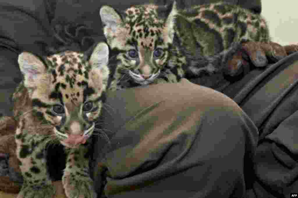 These two clouded leopard clubs were born in March 2009. Since then, three more cubs have been born.