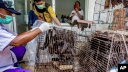 Health officials inspect bats to be confiscated and culled in the wake of coronavirus outbreak at a live animal market in Solo, Central Java, Indonesia, Saturday, March 14, 2020. (AP Photo)