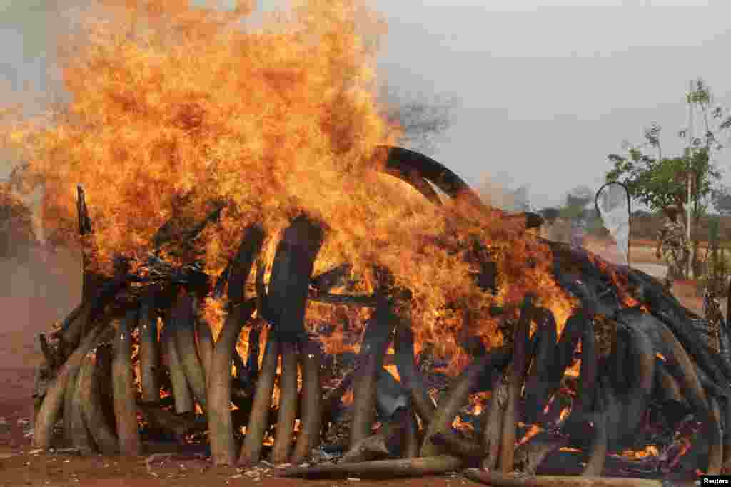 KENYA: The government's wildlife service frequently burns confiscated elephant tusks in public demonstrations. Tsavo West National Park torched five tons of ivory (above) harvested from elephants killed in Malawi and Zambia and confiscated in Singapore.
