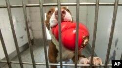 Esta foto de archivo muestra la raza de perro Pitbull. Se sabe que ambos canes, uno de los cuales es agresivo, serán sacrificados.