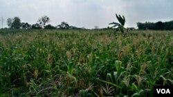 Ladang Jagung di Gresik, Jawa Timur. Jagung menjadi salah satu komoditas pangan andalan Jawa Timur (Foto:Petrus Riski/VOA)