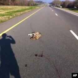 Wildlife corridors might cut down on the abundant roadkill found on American highways.