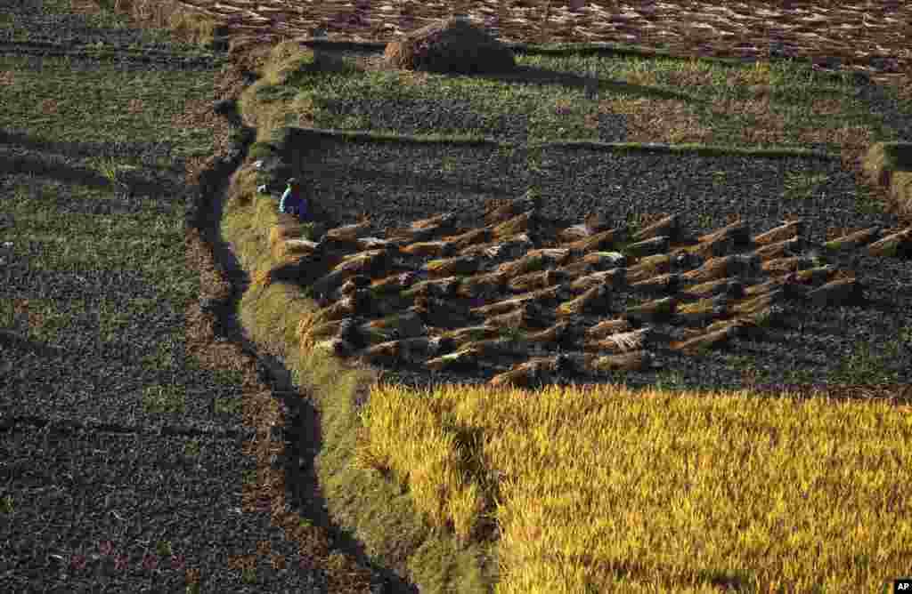 Seorang petani Nepal istirahat pada saat panen padi di Chunnikhel, pinggiran Kathmandu, Nepal.